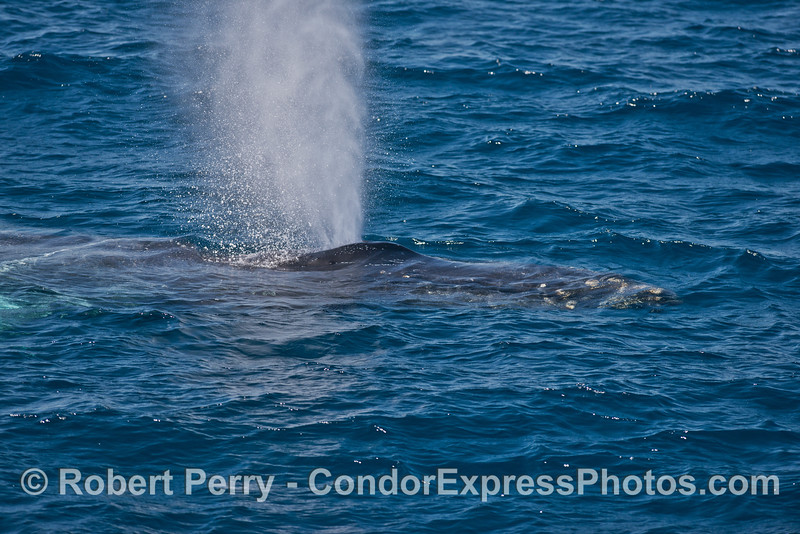 Lucky the humpback whale is shown close up and spouting