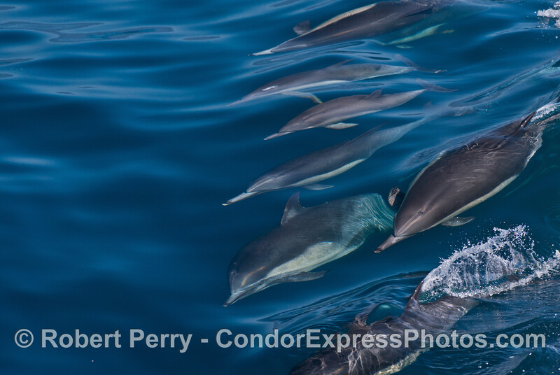 A line of common dolphins surf a small wave