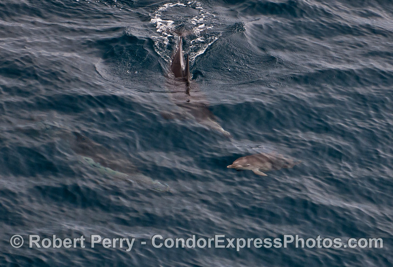 Adult common dolphins are shown underwater near a very tiny calf