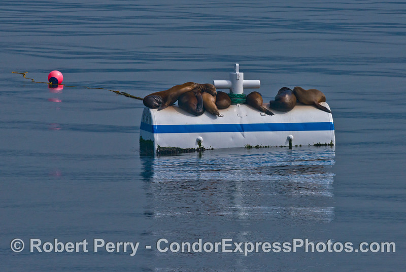 California sea lions relax in the warm sun on a mooring can near Platform Henry