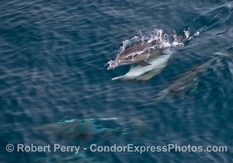 Mating common dolphins