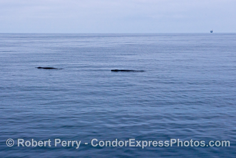 "Two large humpback adults are shown ""logging"" on the surface"