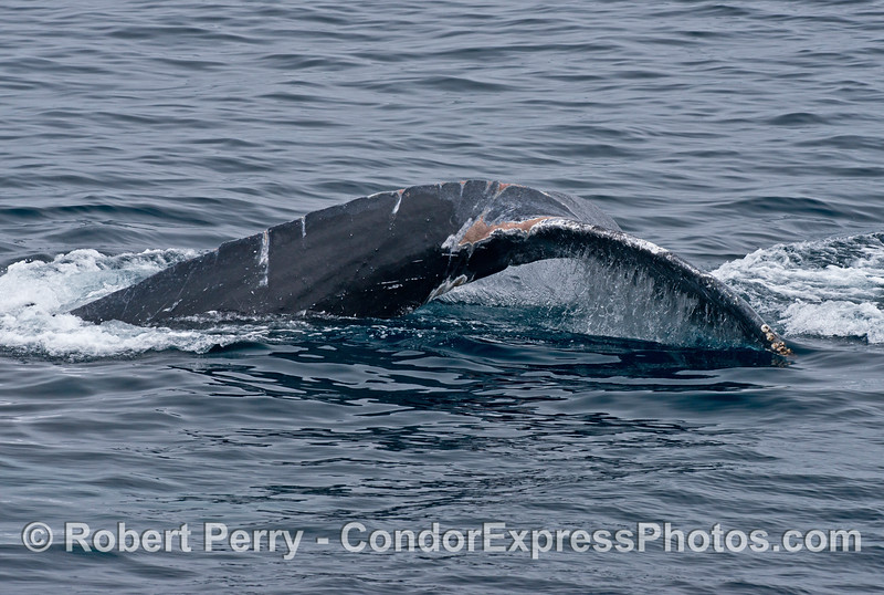 """Scars on tail and tail stock of the rescued humpback whale """"Lucky."""""""