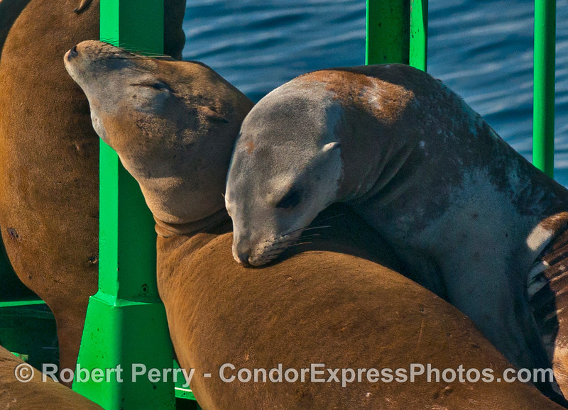 Relaxing in the sun - two California sea lions on the harbor entrance buoy, Santa Barbara