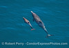 Looking down on a mother common dolphin and her calf
