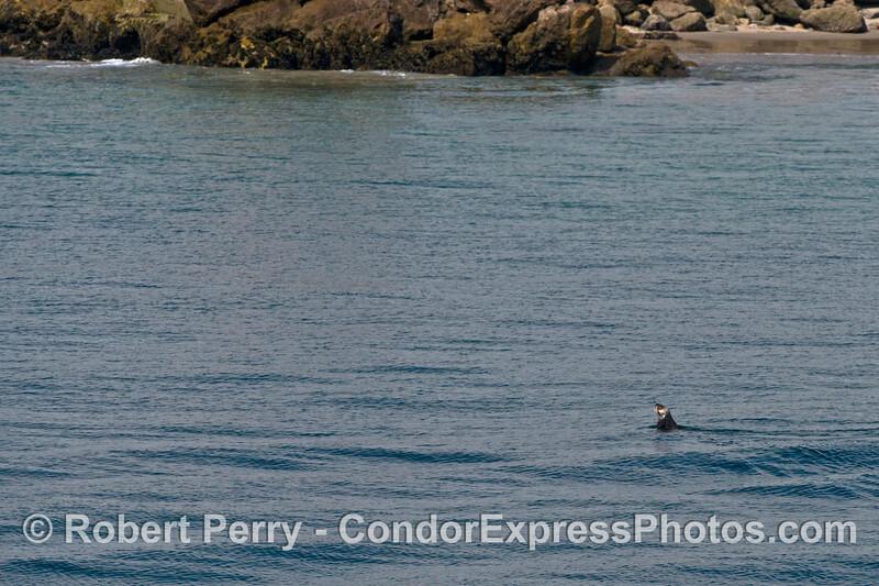 A rare glimpse at a sea otter near the breakwall and sand spit, Santa Barbara Harbor entrance