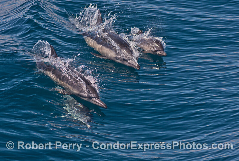Two common dolphin mother-calf pairs surf a small open ocean wave