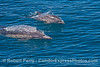 Mother and calf - common dolphins