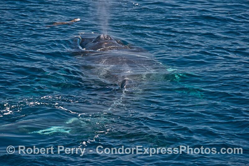 A humpback whale steams forward towards a fearless California sea lion