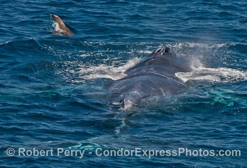 A pesky California sea lion messes with a humpback whale