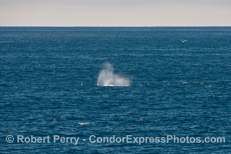 Humpback spout - like a geyser on the wide blue ocean