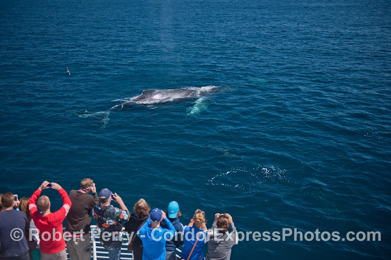 "The whole body of ""Lucky,"" the humpback whale is visible thanks to the very very clear water"
