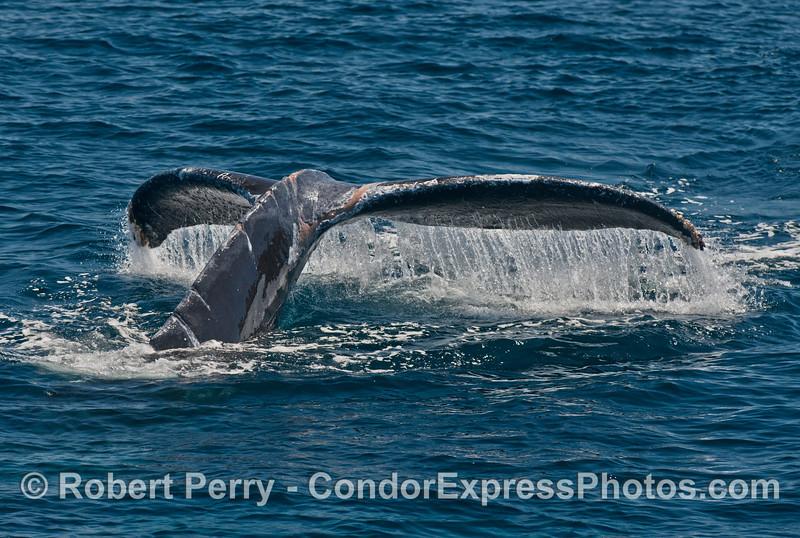 Humpback whale tail fluke waterfall