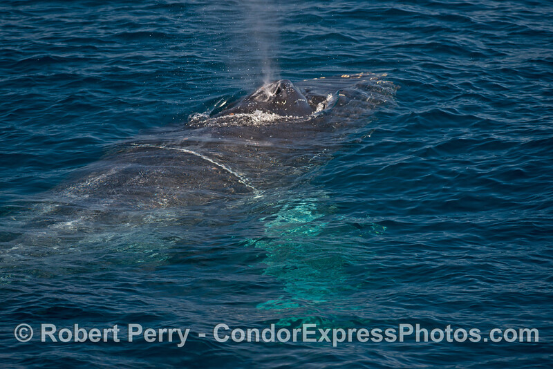 A close look at the back and blow holes of a humpback whale with its white pectoral fins glowing beneath the surface