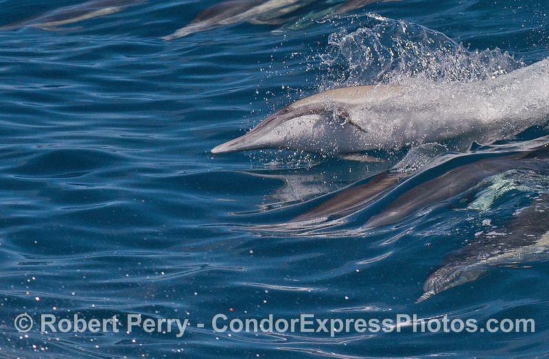 Radical surfer - a sideways common dolphin rides with the pack