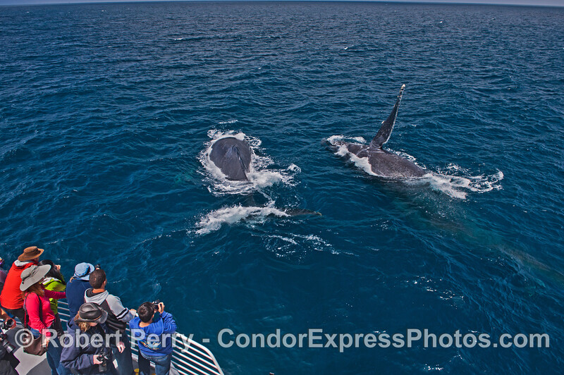 Two very friendly humpback whales and one slaps its pectoral fin
