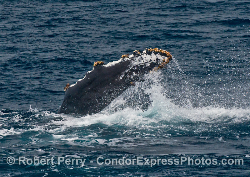 Image 3 of 4:  a pect-slapping humpback whale
