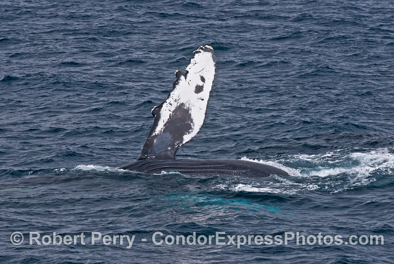 Image 4 of 4:  a pect-slapping humpback whale