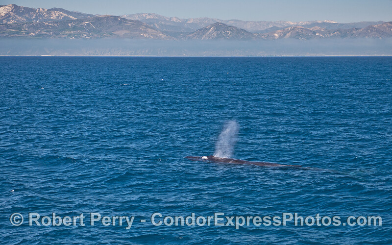 The Santa Ynez Moutains and a residual fog layer form a backdrop for this spouting humpback whale off the west Ventura coast