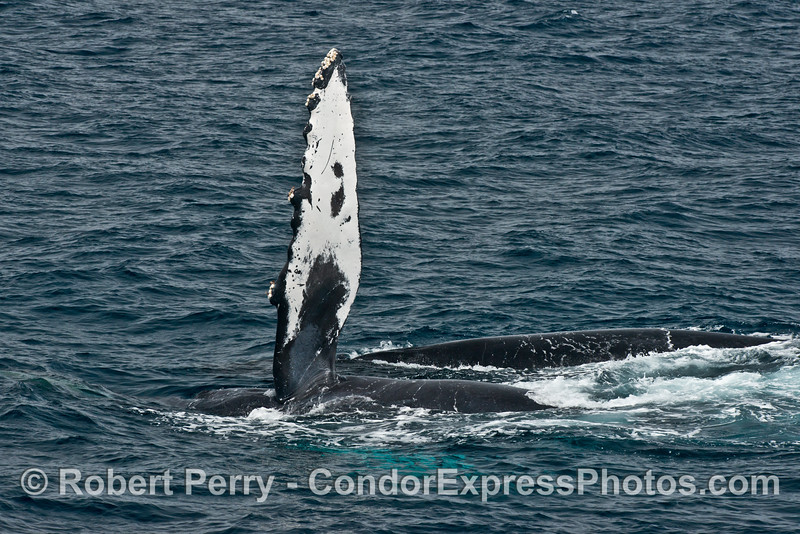 Two humpback whales side by side and one slapping its pectoral fin