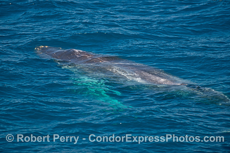 Blue water view of a friendly humpback
