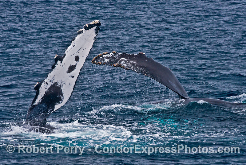 Simultaneous pectoral fin slapping by two side-by-side humpback whales