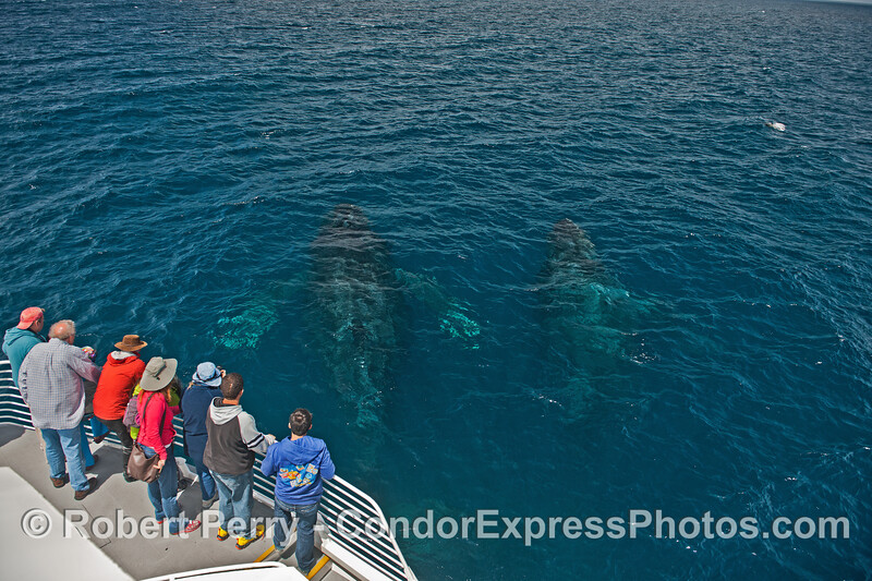 Two whales down deep in full view of the humans - friendly humpbacks