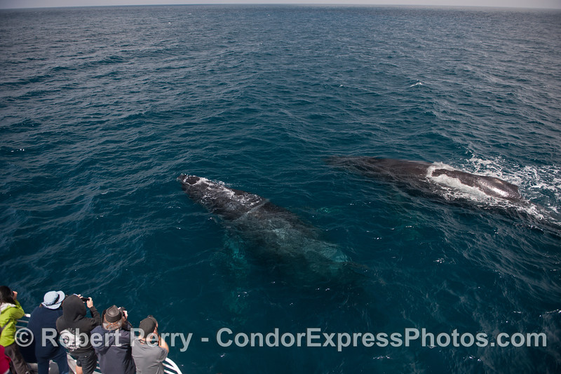 Two large humpbacks seen under the clear blue water and very close to their fans