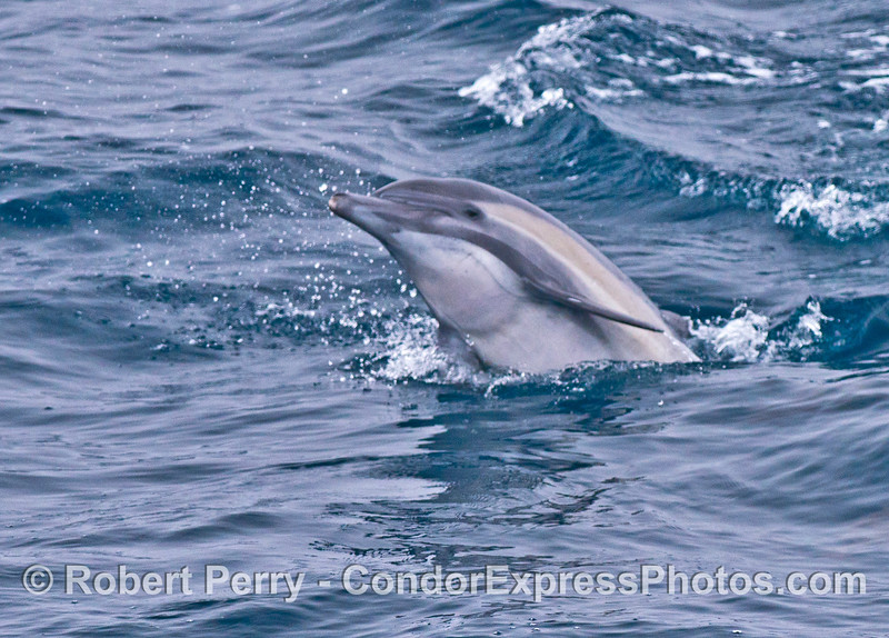 Image 2 of 2:  socialization by a common dolphin