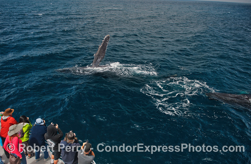 Two humpbacks close to the boat - one slaps its pectoral fin
