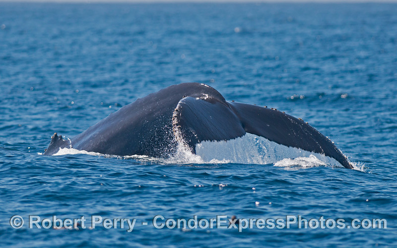 The mighty tail flukes of a humpback whale