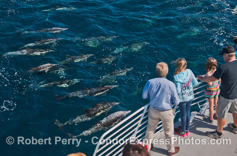 Friendly common dolphins and their fan club