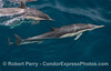 Delphinus capensis cow & calf 2014 08-19 SB Channel-a-010