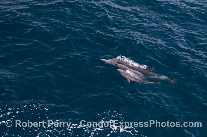 Delphinus capensis cow & calf 2014 08-19 SB Channel-a-052