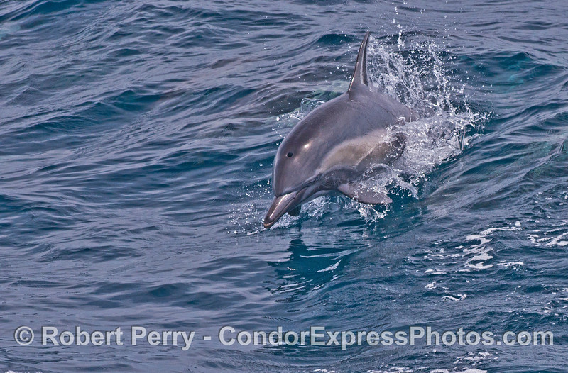 Delphinus capensis 2014 08-19 SB Channel-b-002