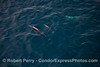 Delphinus capensis cow & calf 2014 08-19 SB Channel-a-044