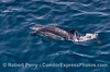 Delphinus capensis cow & calf 014 08-19 SB Channel-a-046