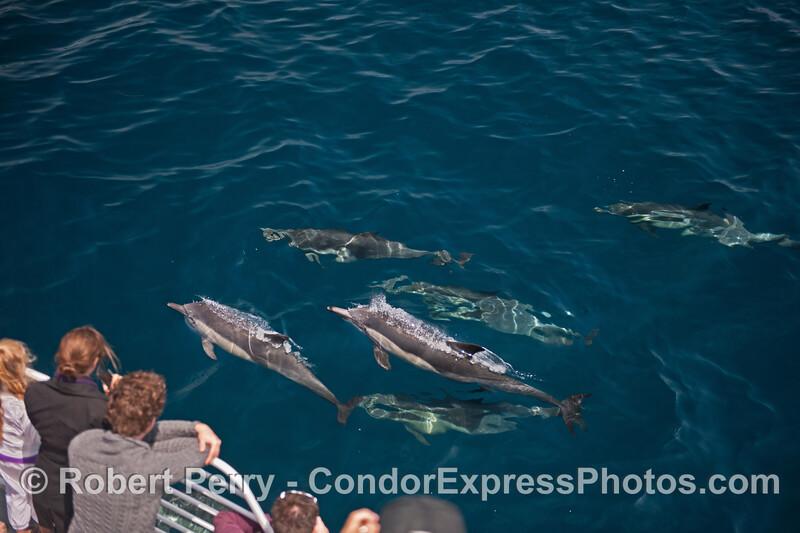 Delphinus capensis & passengers 2014 08-19 SB Channel-a-067