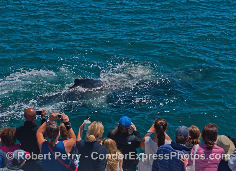 Image 1 of 3:  A very close approach by a friendly humpback whale reveals something new.  A mud stream can be seen being ejected from the mouth.