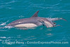 A long beaked common dolphin calf is seen next to its mother.
