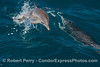 A very young common dolphin calf is seen leaping next to its mother.
