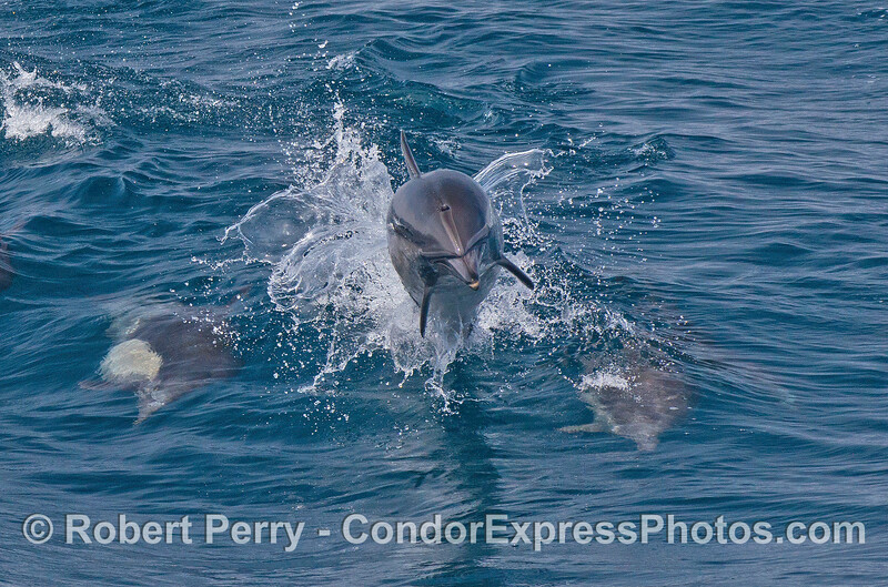A leaping long beaked common dolphin