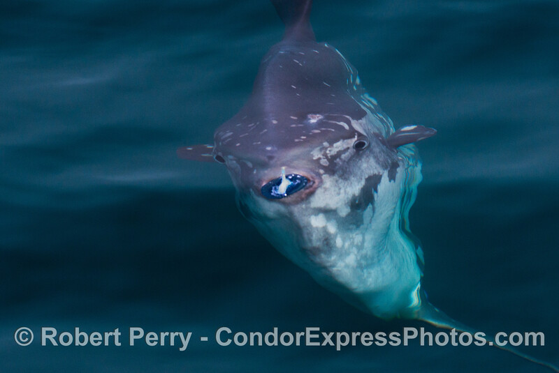Image 5 of 9::  An Ocean sunfish, Mola mola, feeds on a purple sailor jelly, Velella velella