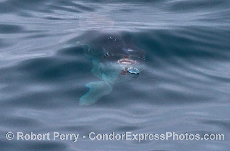 Image 1 of 9:  An Ocean sunfish, Mola mola, feeds on a purple sailor jelly, Velella velella