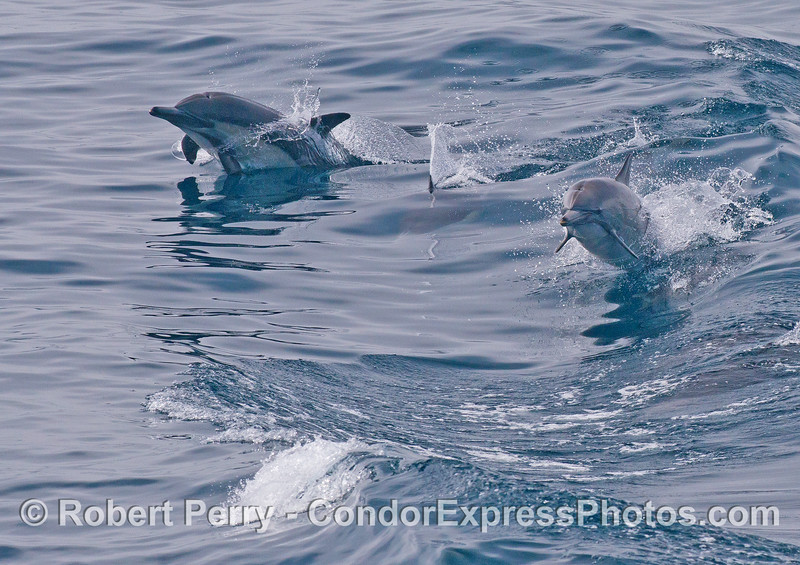 Two leaping long beaked common dolphins