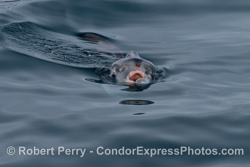 Image 3 of 9:  An Ocean sunfish, Mola mola, feeds on a purple sailor jelly, Velella velella