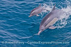 Mother and her calf -  leaping long beaked common dolphins