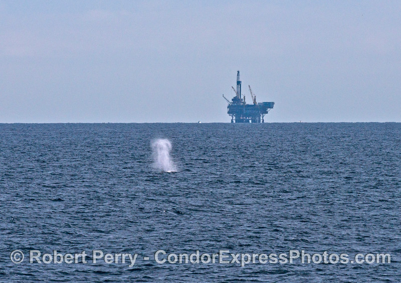 A big spout from a humpback whale and Platform Gilda in the back