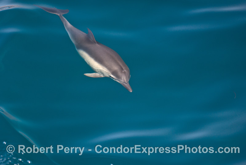A long beaked common dolphin is seen under water