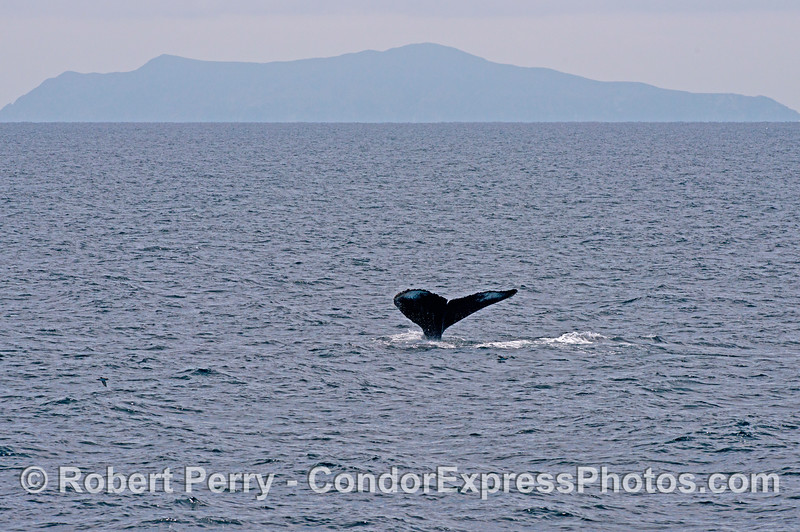 A humpback tail fluke is captured with Anacapa Island in the back